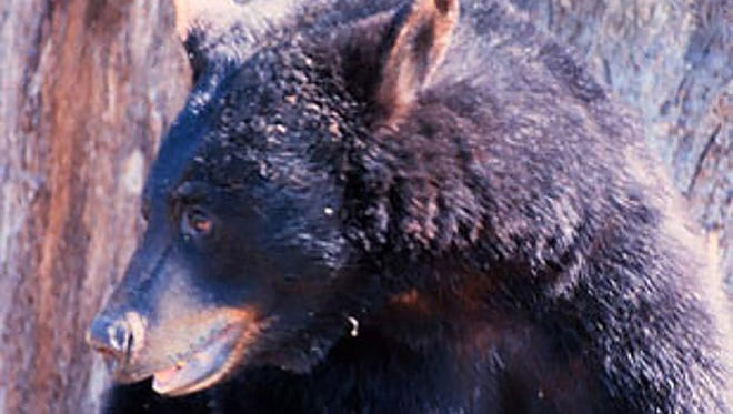 A black bear was struck and killed by a vehicle near Newton on Memorial Day.