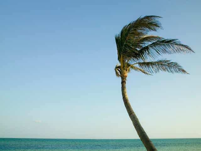 Palm Trees Tend To Bend Not Fall In The Wind
