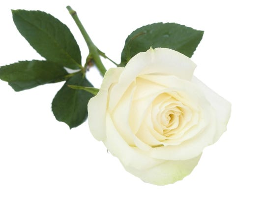 Single white rose with leaves.