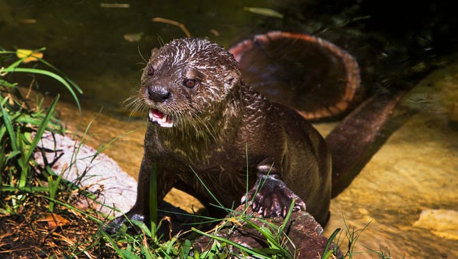 Biko, an 18-year-old spotted-necked otter, comes out of his pool at the Phoenix Zoo on   Aug. 15 2017. Rick Argovitz, president of Glacier Pool Coolers in Scottsdale, donated pool coolers to the zoo to cool the pool in the otter enclosure during the summer.
