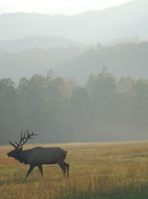 An elk wanders in Great Smoky Mountains National Park. The N.C. Wildlife Commission has ruled the killing of three elk Jan. 29 on a Haywood County farm were legal takings.