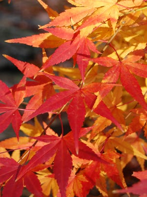 Japanese maples come in many varieties and offer spectacular color for Kentucky gardens.