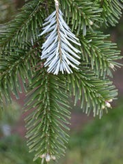 Photo Caption: The most popular Christmas tree in the