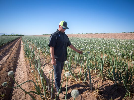 On a May day, farmer Jay Hill of Mesilla Park examines