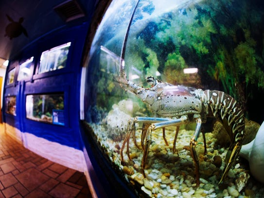 A Florida spiny lobster looks out from it's aquarium