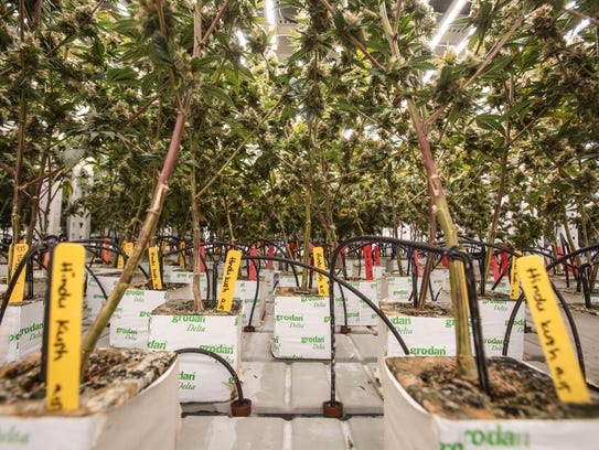 Flowering marijuana plants grow at the MedMen cultivation