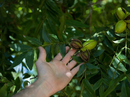 Jay Hill, points out a few pecans that are almost ready