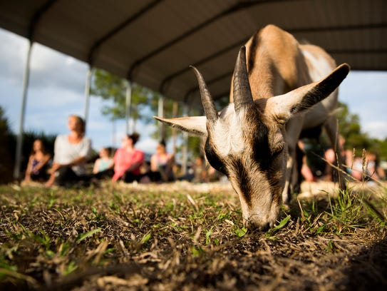 Participants stretch as a goat grazes during barnyard