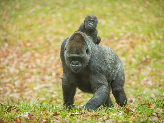 No word on what the baby gorillas at Zoo Knoxville