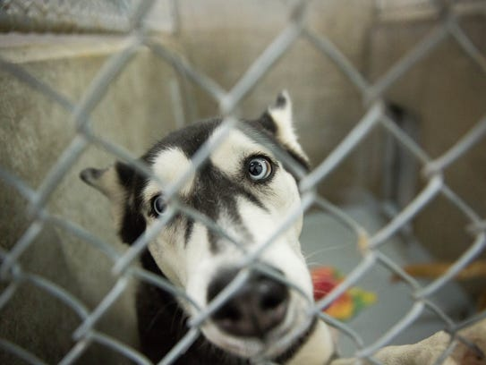 A husky looks out of its enclosure at the Animal Service