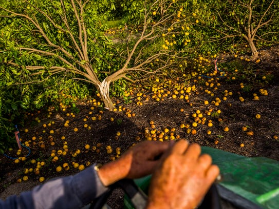 Martin Mason, 75, examines his citrus trees on his