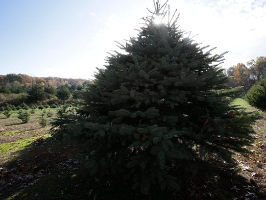 The Saltsman Christmas Tree Farm in Rhinebeck on  Nov.