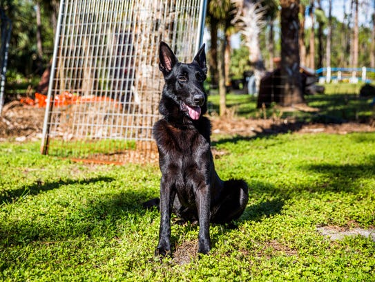 Storm, shown at Big Cypress German Shepherd Rescue in Golden Gate Estates on Tuesday, Nov. 21, 2017, was rescued from Puerto Rico after Hurricane Maria and has been living in a foster home.