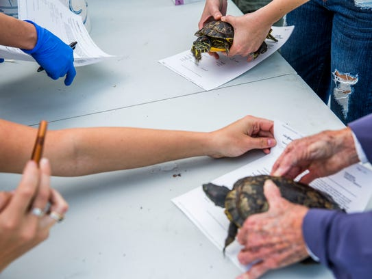 Turtles are examined during the Exotic Pet Amnesty