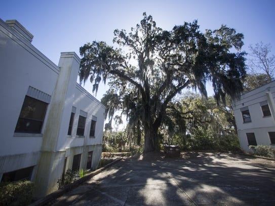 One of the massive live oaks, pictured Jan 23, on the