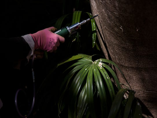 Kathy Dunnington injects an insect and disease control