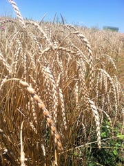 Spelt is a 5,000-year-old grain that looks much like