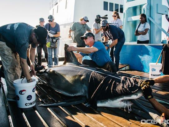 YETI the great white shark.