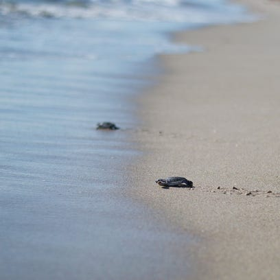 TURTLE NESTING UP - It was an overall record-breaking