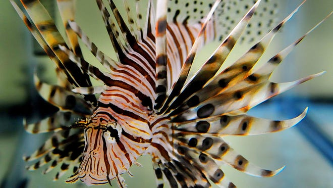 CRAIG RUBADOUXA new Web portal is aimed at controlling the lionfish invasion. Lionfish.