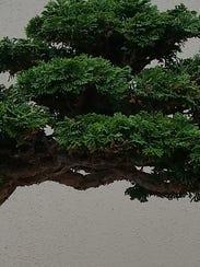 A Hinoki false cypress bonsai dating to 1930.