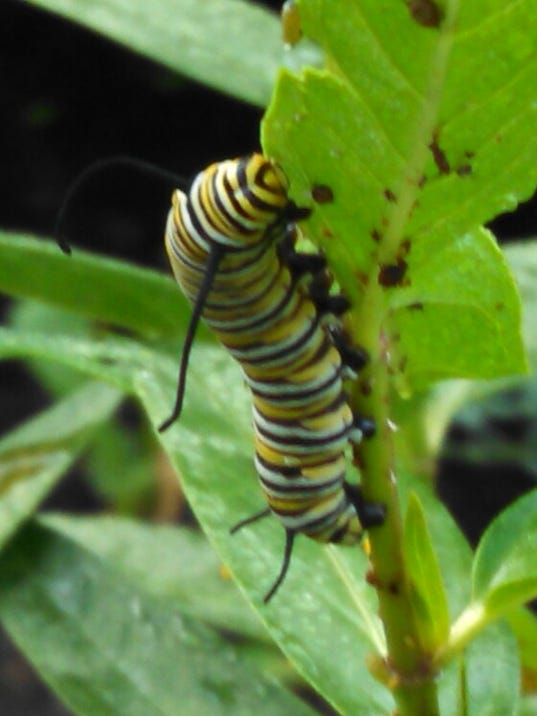 monarch caterpillar feeding on milkweed.jpg