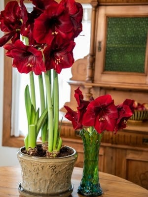 Amaryllis trumpet-like blooms unfold for holiday cheer.