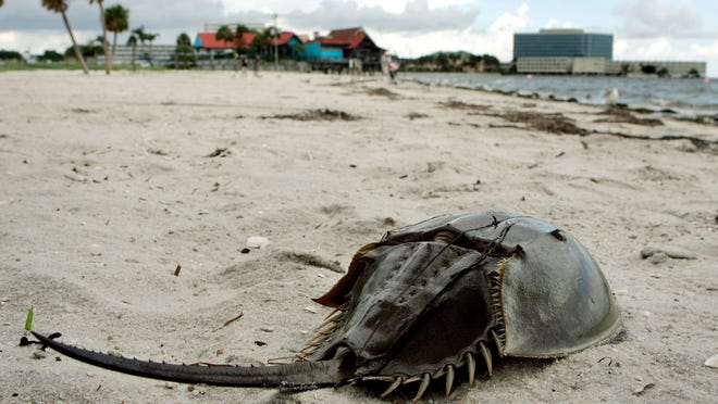 A dead Horseshoe Crab lies dead on Ben T. Davis beach Thursday afternoon July 31.2008 in Tampa, Fla. City officials closed the beach after hundreds of dead fish washed up on shore.