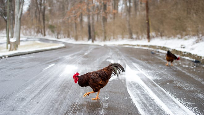 A chicken crosses a road while foraging for food in Shelby Park in Nashville, Tenn., Friday, Jan. 6, 2017. Snow fell on the Nashville area Friday, reaching two inches in some areas.
