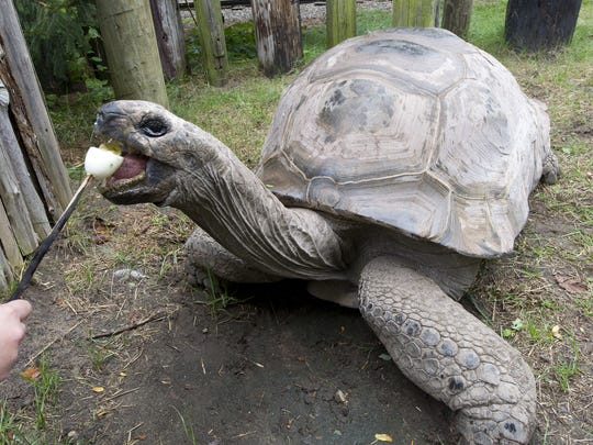 In this 2010 photo, Al, an Aldabra giant tortoise, eats a hard boiled egg at Binder Park Zoo.