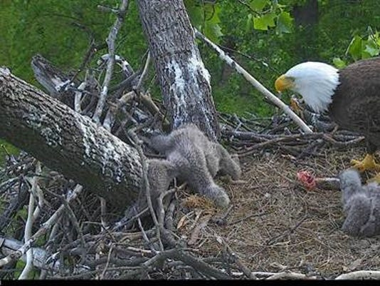 Eaglet trapped