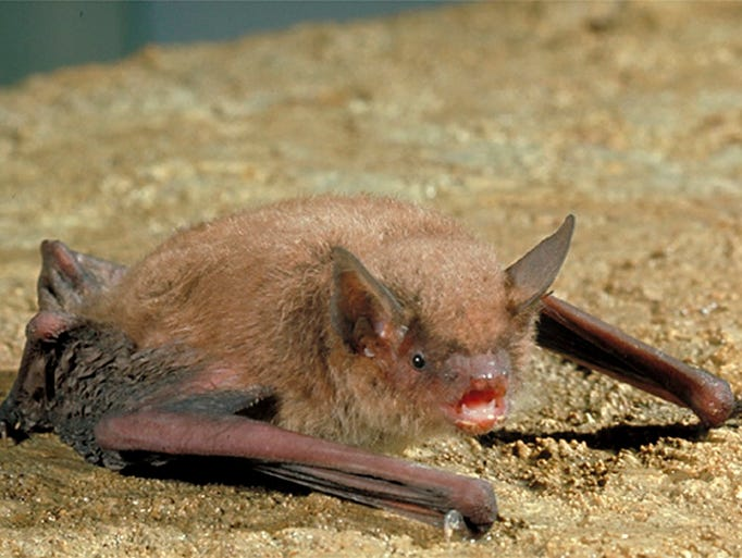 4/18-19: 'Earth Day: Bat Day' | The myotis bats are