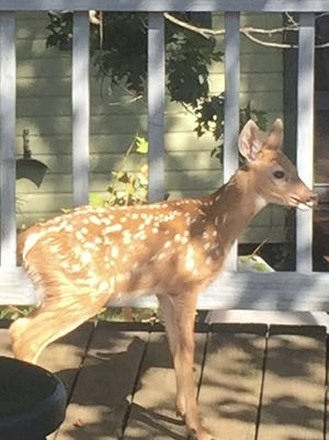 A curious, still-spotted fawn with much to learn visited Dan Finn's deck in Douglas last week.