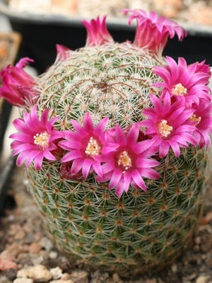 One of the largest families of cactus, varieties of Mammillaria are always a unique addition to your garden.