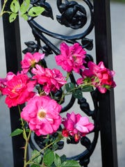 Flowers climb the wrought iron fence Tuesday, June