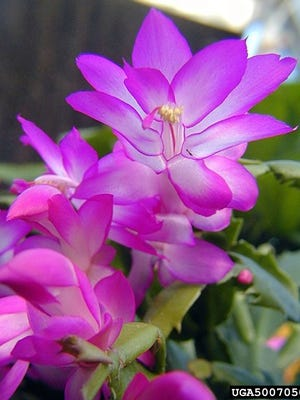 The Christmas cactus's native habitat is the rain forest of southeast Brazil.
