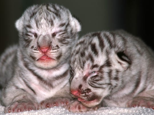 2014 392111825-White_Tiger_Cubs_INMIC202_WEB787106.jpg_20140522.jpg