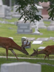 Deer graze in Crown Hill Cemetery on a recent August morning.
