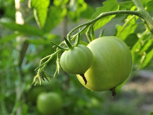 tomatoes_ThinkstockPhotos-484077008