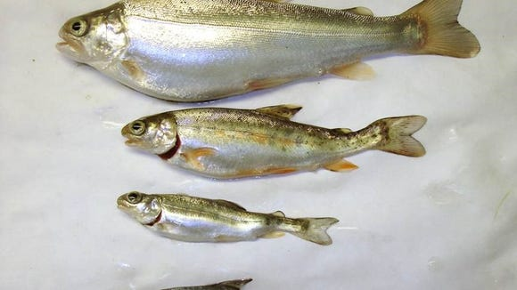 Whirling disease, caused by the microscopic parasite Myxobolus cerebralis, damages cartilage and skeletal tissue in a fish, causing it to swim in a whirling motion. The first case of the disease in North Carolina has been found in the Watauga River.