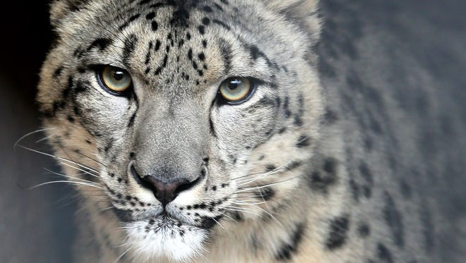 A male snow leopard named Asa jioned the Milwaukee County Zoo in late 2015 from the Rosamond Gifford Zoo in Syracuse.