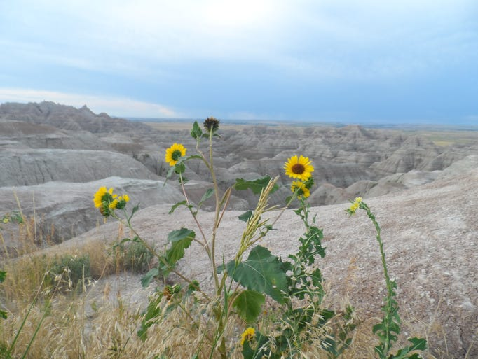 Sunflowers grow in Badlands National Park in South