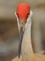 This profile of a Sandhill crane was taken on March,