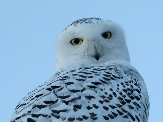 "The presentation ""The Life and Times of Snowy Owls"" runs from 1:30 to 3 p.m. Saturday, March 17, at Tinker Nature Park in Henrietta."