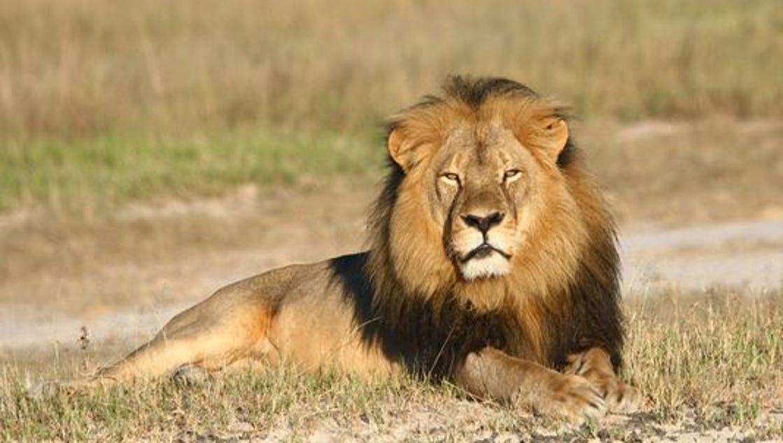 Minn Dentist Who Killed Cecil The Lion Returns To Work
