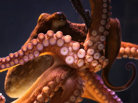 The Giant Pacific Octopus has the ability to camouflage