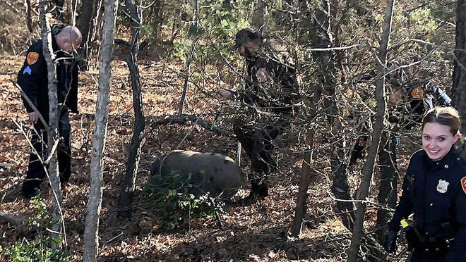 Suffolk County Police Fifth Precinct police officers rescue one of three pigs that escaped from a trailer on Sunrise Highway near Sayville, N.Y. on Friday, Jan. 17, 2020. Police said the driver of the vehicle said she was transporting four pigs to an animal rescue and was unaware three had escaped.