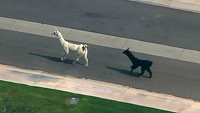 In this image taken from video and provided by abc15.com, two quick-footed llamas dash in and out of traffic in before they were captured, Thursday, Feb. 26, 2015, in Sun City, Ariz., a Phoenix-area retirement community. The llamas thwarted numerous attempts by Maricopa County Sheriff's deputies and bystanders to round them up before they were roped into custody.