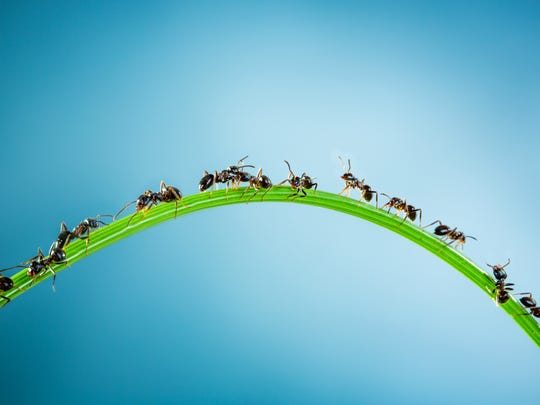 Team of ants running around the curved green blade