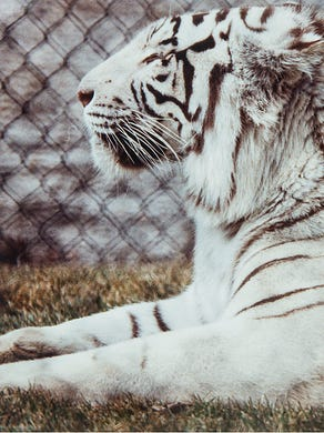 1994: Romulus, a white tiger at Six Flags Great Adventure.
